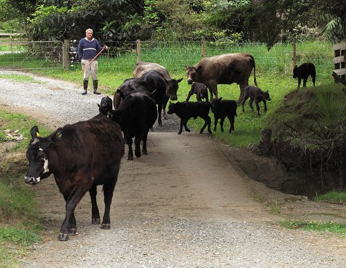 calves and cows on the bridge