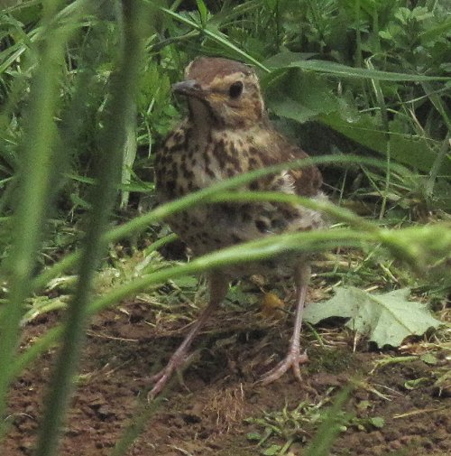 thrush in the garden