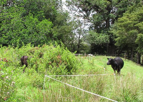 calf in the blackberry patch