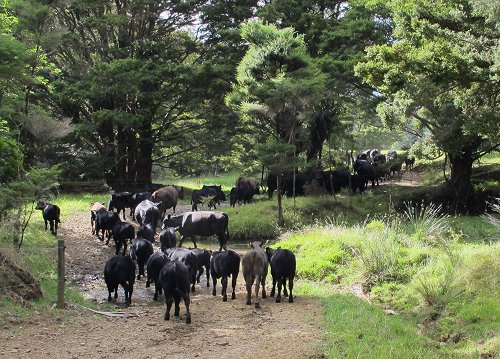 cattle crossing a stream