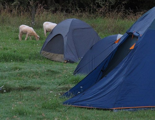 sheep approaching the tents of the sleeping campers
