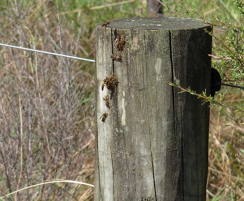 wasps on a post