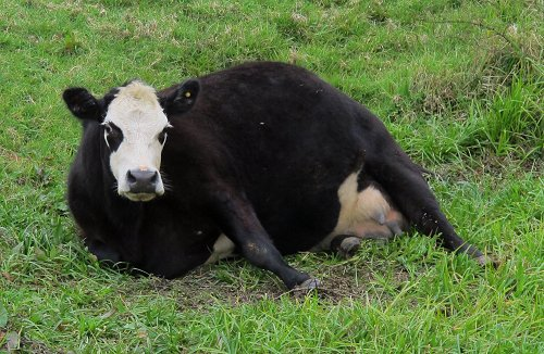 cow in labour