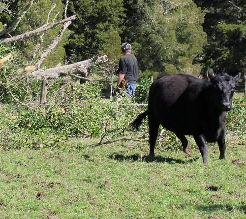 cow and Puriri prunings