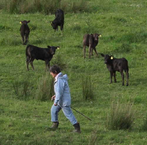 woman and calves