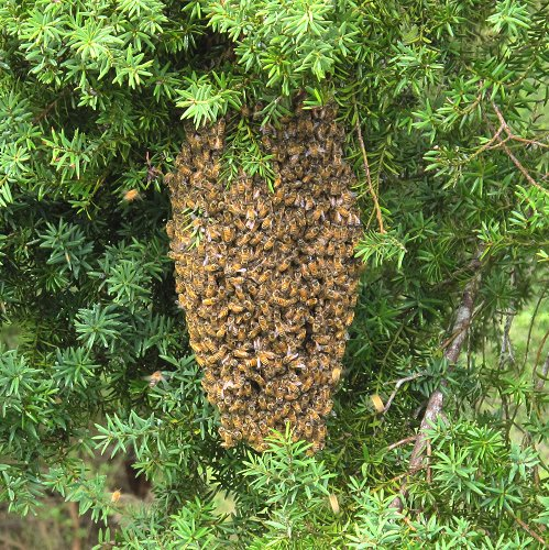 Bee swarm hanging in a Totara tree