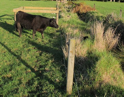 heifer calling to out-of-reach calf