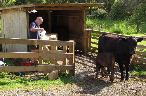 milking cows, feeding calves