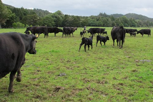 cows and calves on a muddy paddock
