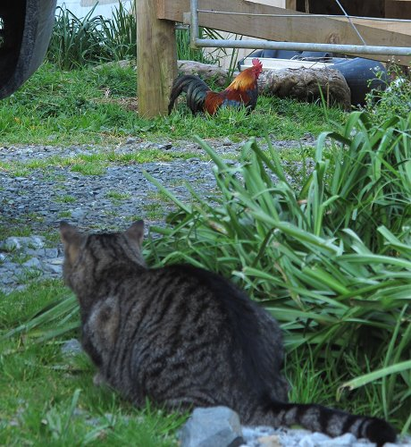 cat stalking rooster