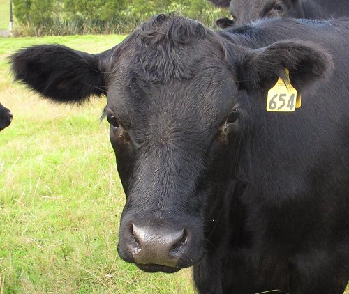 yearling heifer