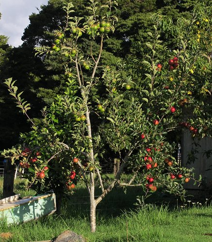 three-variety apple tree