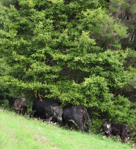bull and cow under Totara
