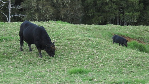 Angus bull with feral pig