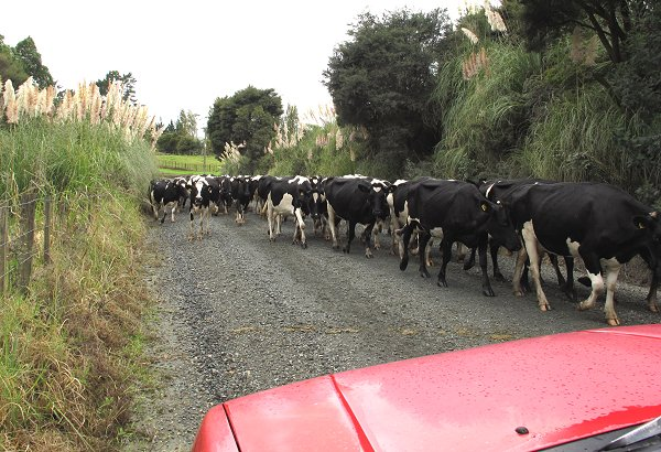 dairy cows on the move