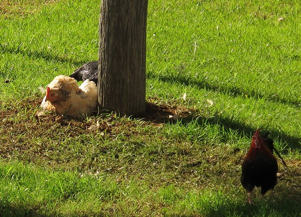 hens enjoying a dust bath