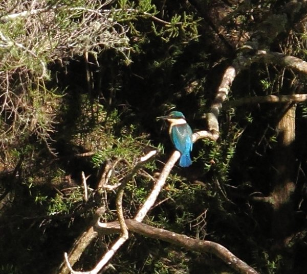 a Kingfisher in the sunshine