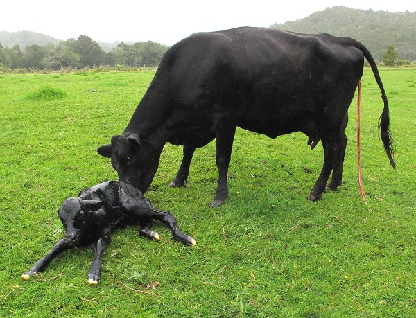 Angus-Jersey cow and calf