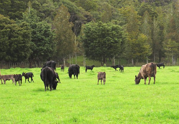 Angus cows and calves