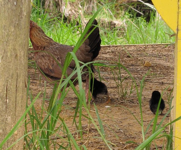 bantam and chicks