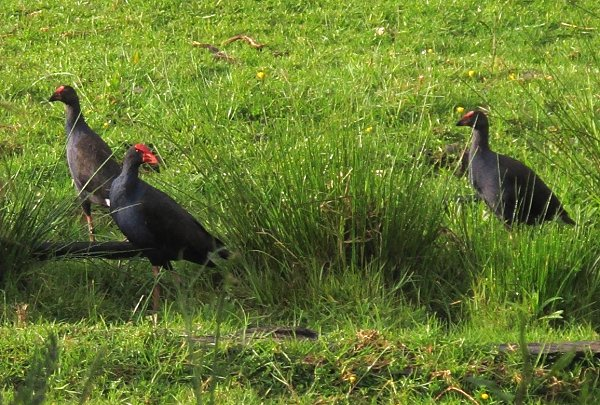 Pukeko adult and juveniles