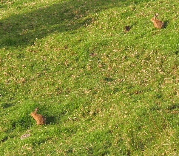 hares on a hill
