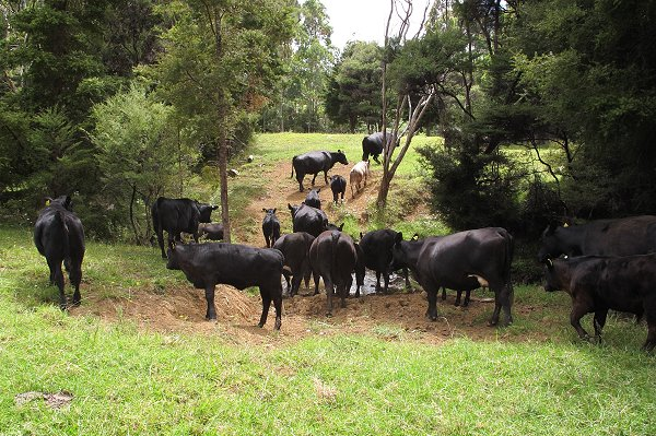 Angus cattle