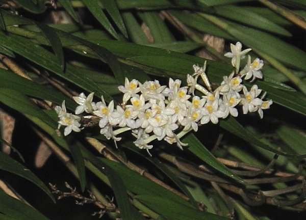 native orchid flowers
