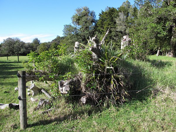 Puriri regrowth