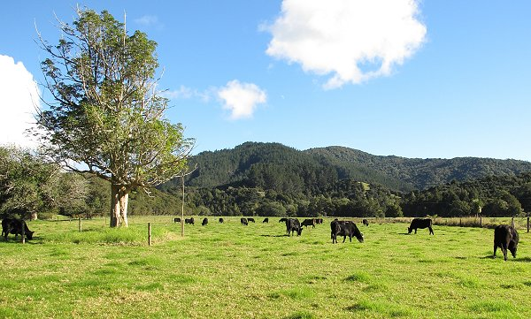 Angus cattle grazing