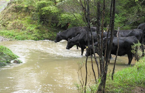 cows crossing a flooded stream