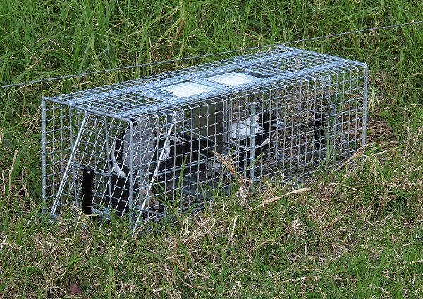 magpies in a trap