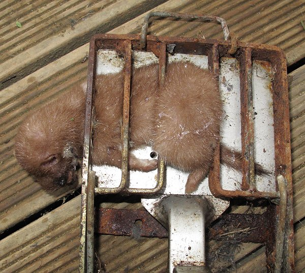 trapped stoat