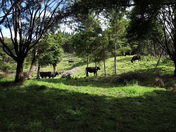 heifers on a hillside