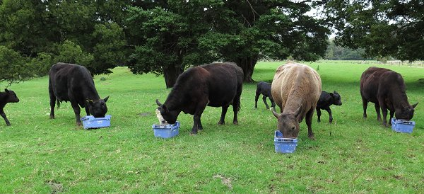 cows eating Molasses