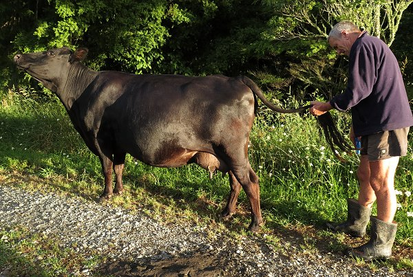 Jersey-Angus cow