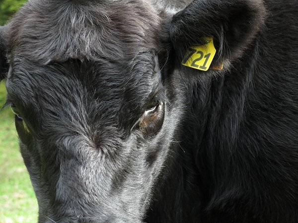 heifer with wart on eyelid
