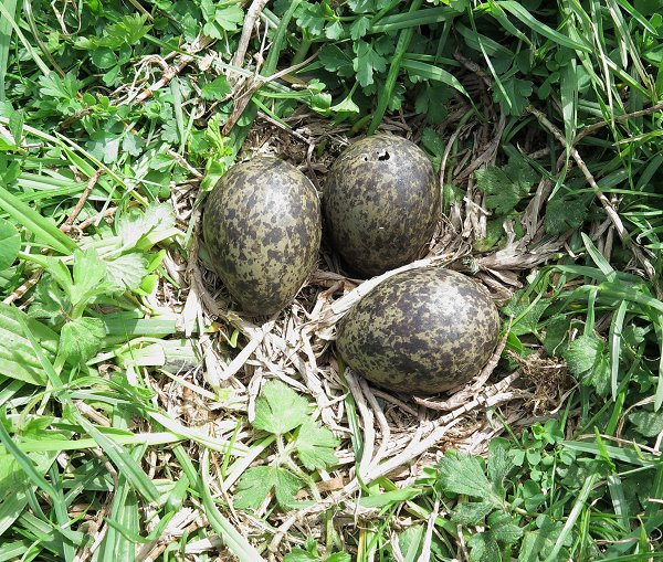 Spur-winged Plover nest