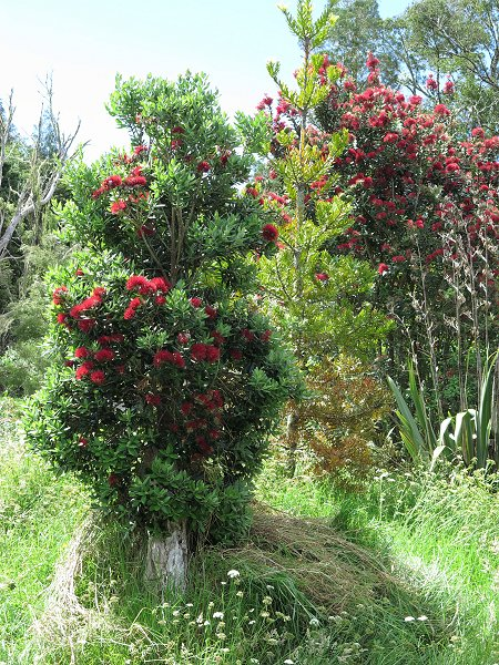 Rata and Pohutukawa in flower