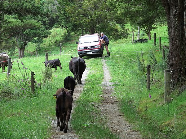 ute and cattle