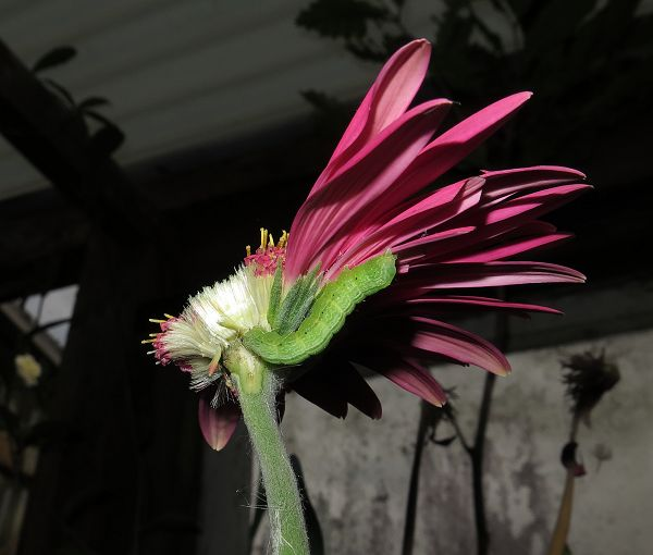 caterpillar eating gerbera flower