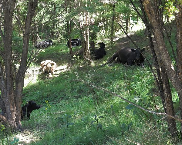cows and calves in shade