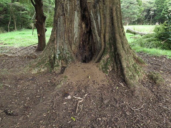 base of Puriri tree