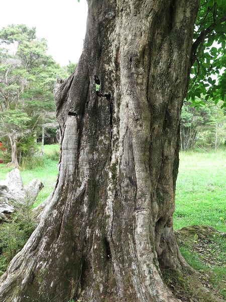 cracked Puriri trunk