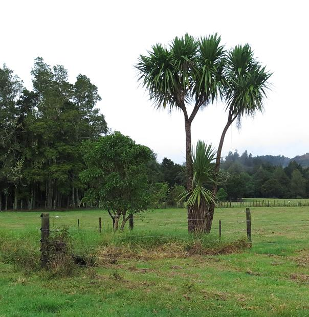 Cabbage and Puriri trees