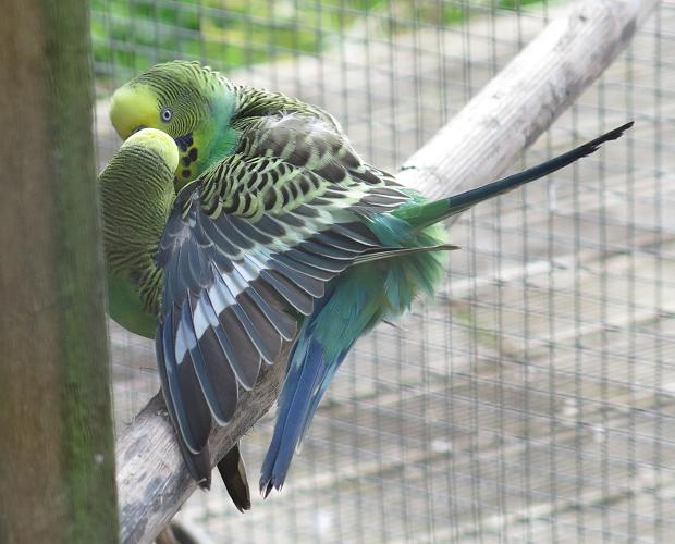 mating budgies