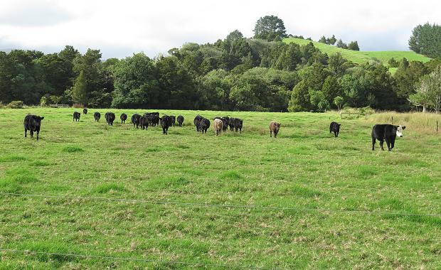 Angus calves and yearlings