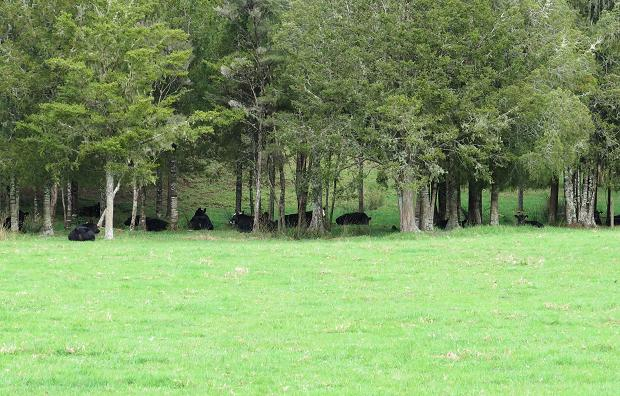 cattle under trees