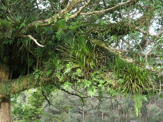 Puriri tree epiphytes