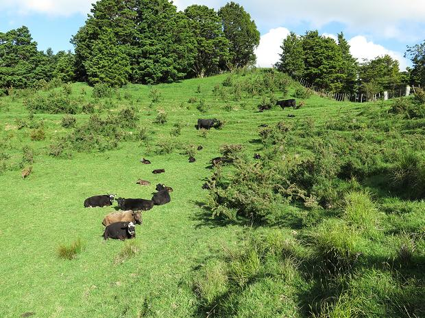 hillside with gorse and cattle
